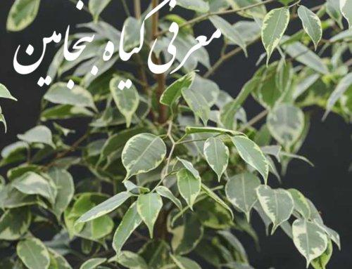 معرفی گیاهان آپارتمانی (بنجامین ficus benjamina )